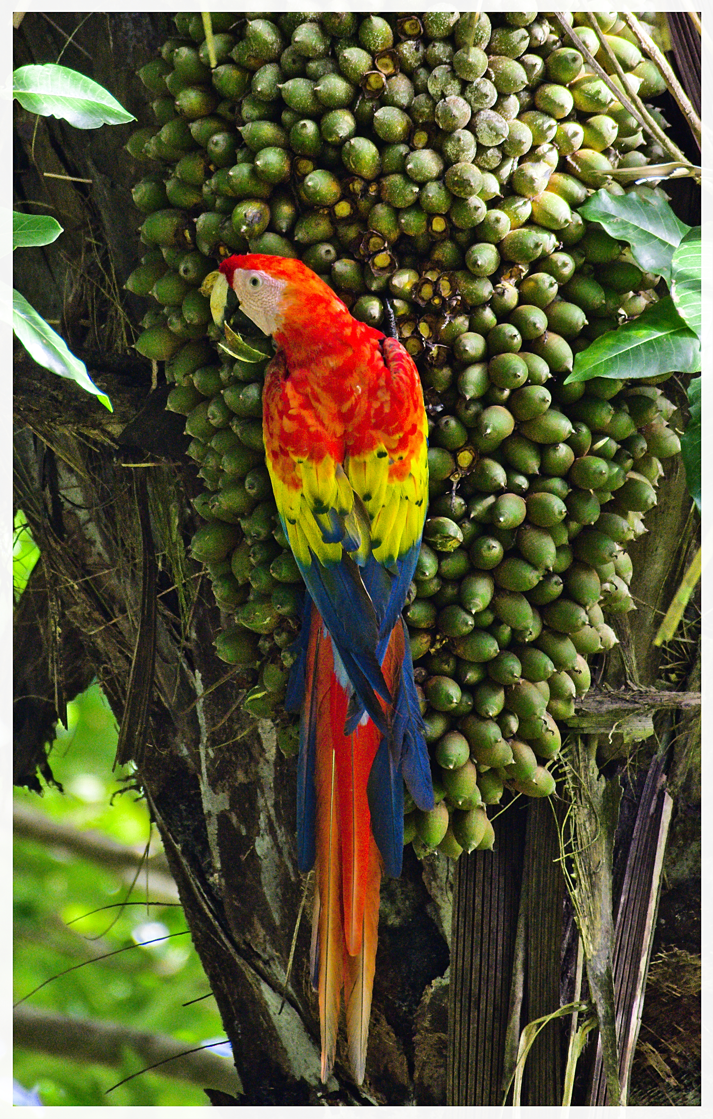 Red Macaw - Costa Rica