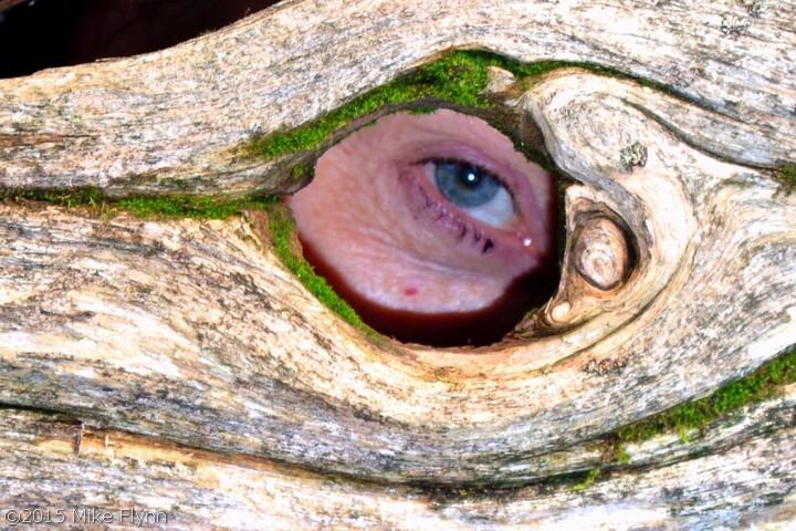 Eye through wood bark
