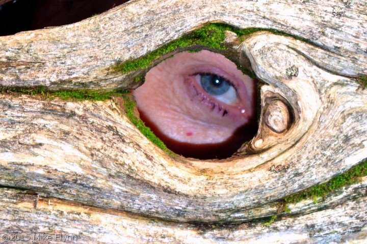 Eye through wood bark