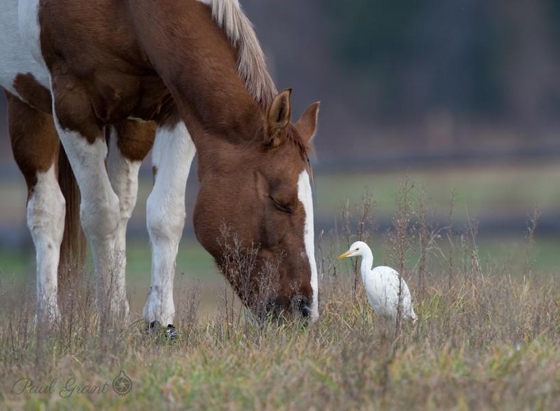 Horse & Egret